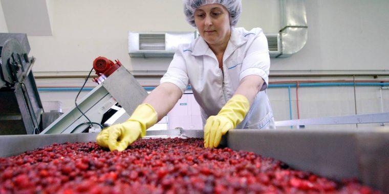 В Паше будут обрабатывать дикорастущие ягоды