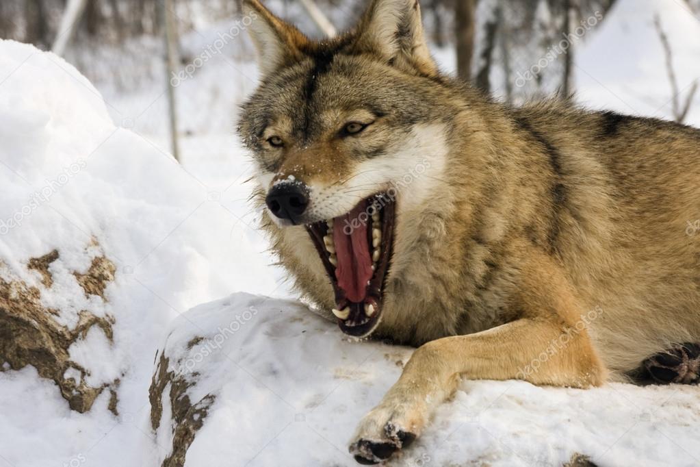 Осторожно: волки!