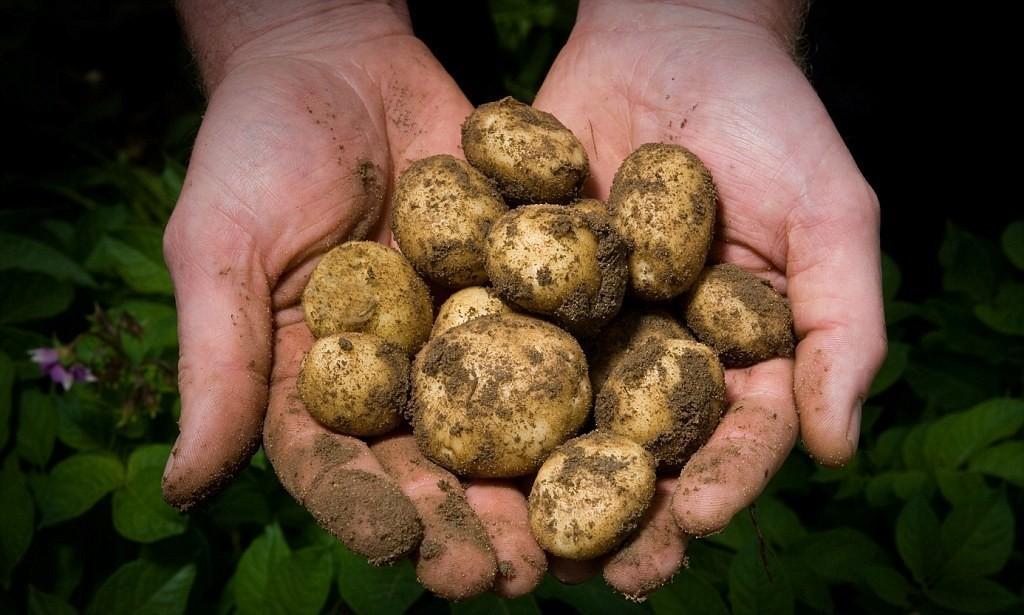 Картофель эконом-класса уже поступил в продажу