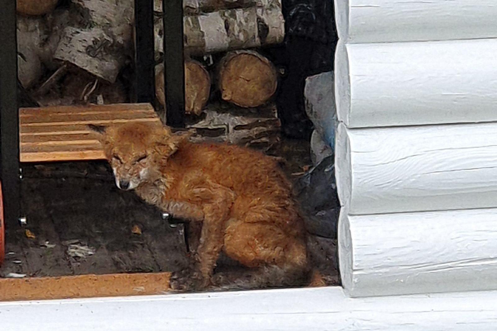 В Ленобласти спасли лисёнка