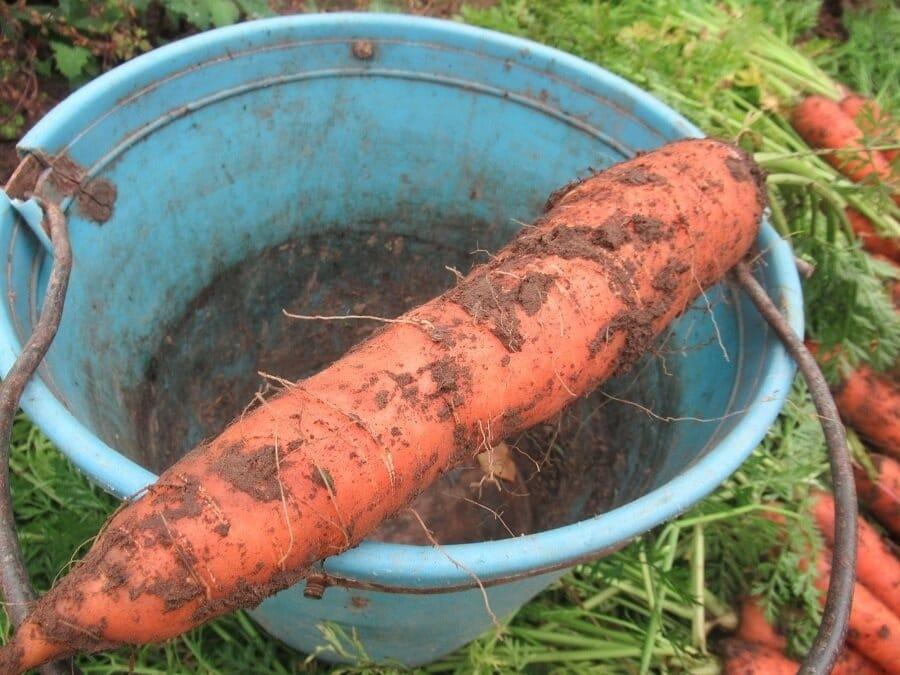 Дачники советуют как легко вырастить хорошую морковь