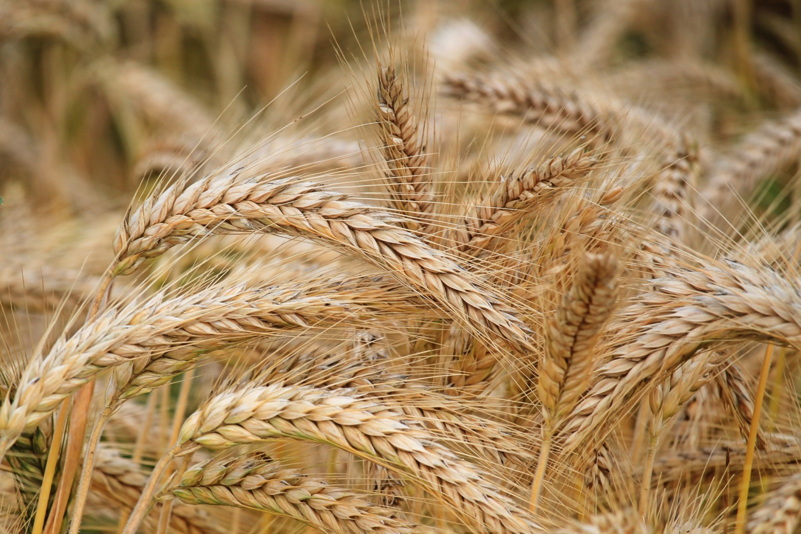 Зерно собрано